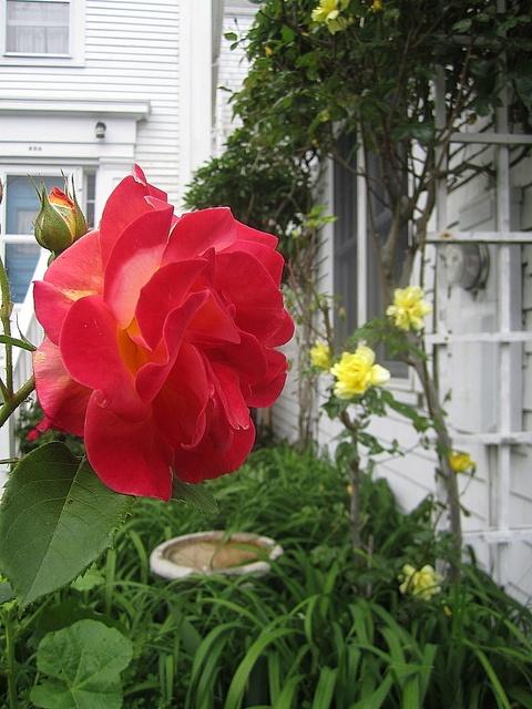 roses_11june2013.jpg